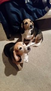 LOLA & DOUG! 4 YEAR OLD BONDED BEAGLE PAIR.