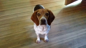 MEET EMMA! A 5 YEAR OLD BEAGLE GIRL!